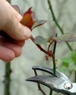potatura cespugli e piante