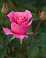 le rose
